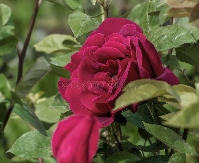 Rosa natural en primavera con el fondo unfocused imagen de archivo