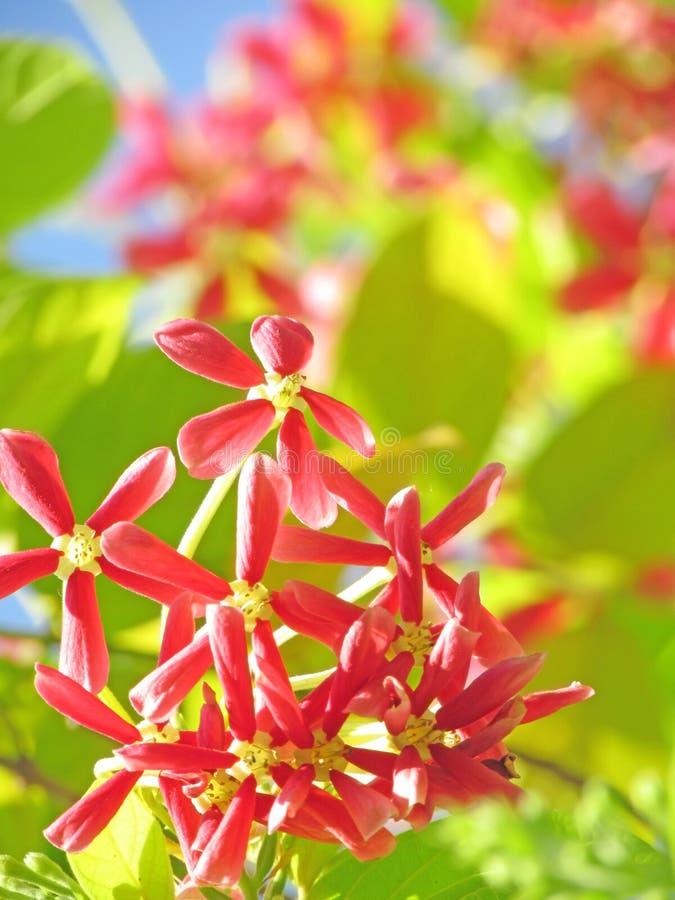 Rosa naturblommabakgrund, indica quisqualis royaltyfri bild