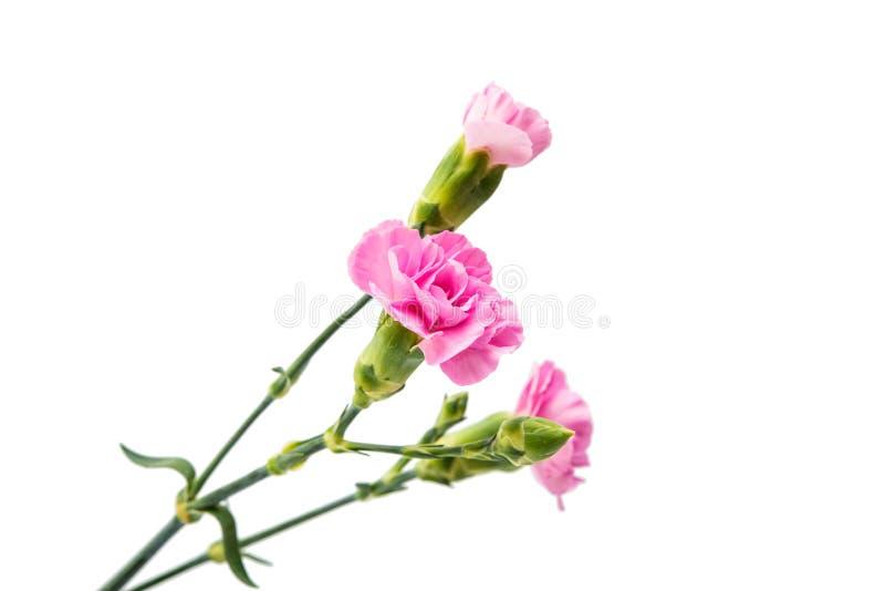 Rosa nejlika royaltyfri bild