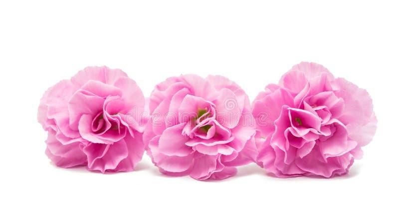 Rosa nejlika royaltyfria bilder