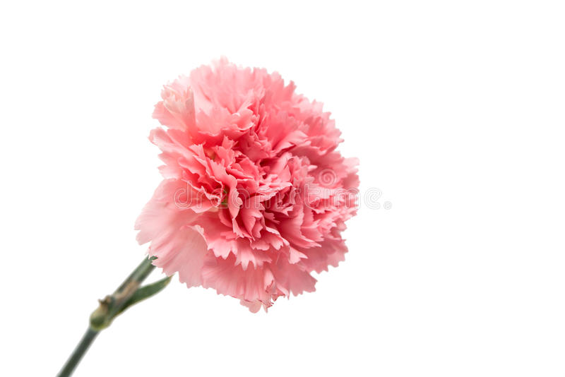 Rosa nejlika arkivbilder
