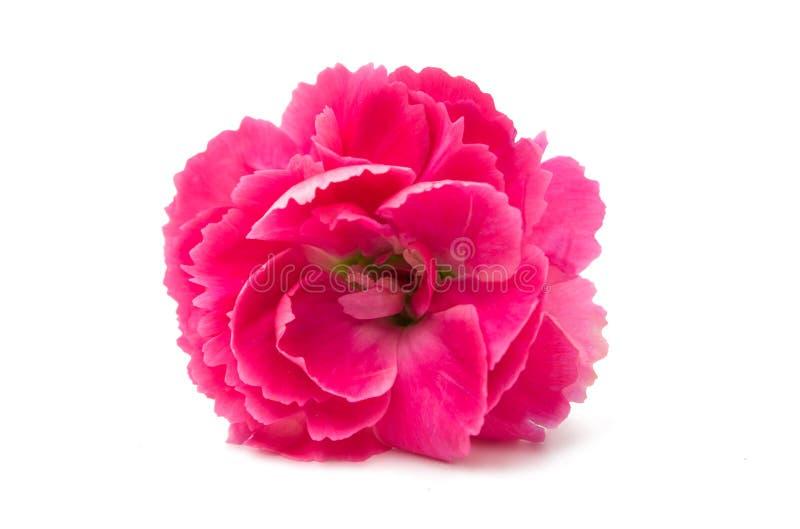Rosa nejlika arkivbild