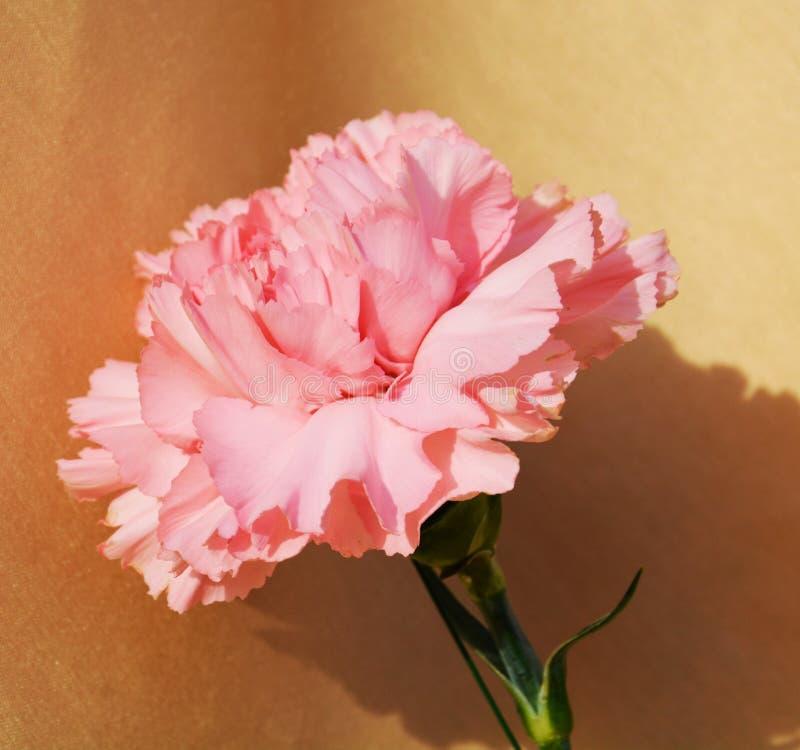 Rosa nejlika, symbol av harmlöshet arkivbild