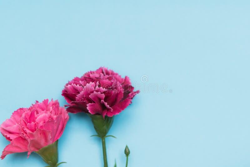 Rosa nejlikablomma på blåa bakgrunder, begrepp för vårsäsong arkivbilder