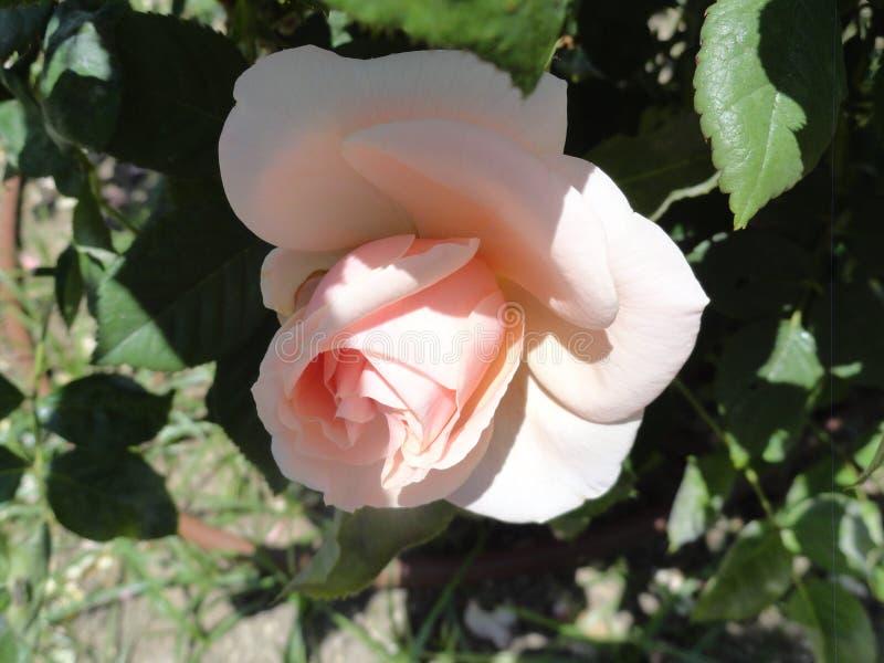 Rosa nel parco di retiro immagini stock libere da diritti
