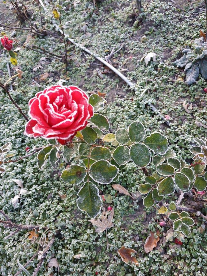 Rosa nell'ambito del gelo immagine stock