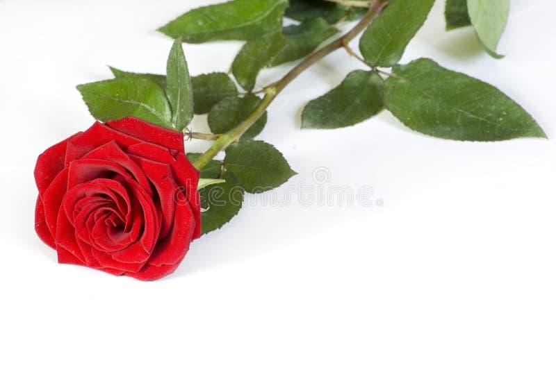 Rosa no branco foto de stock