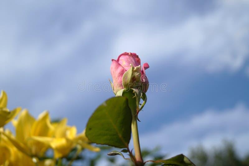 Rosa no céu foto de stock