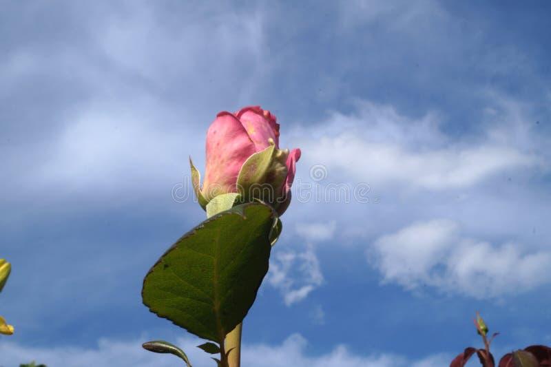 Rosa no céu fotografia de stock