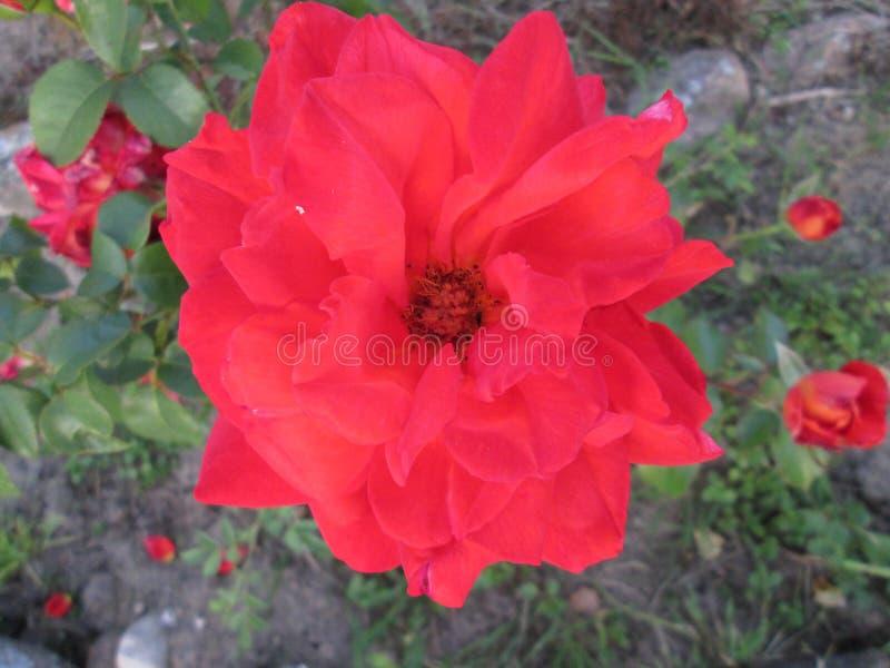 Rosa no close-up do jardim imagem de stock royalty free