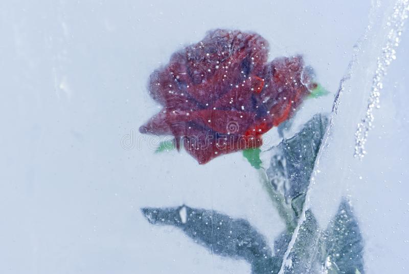 Rosa no gelo fotografia de stock