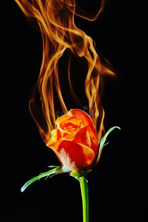Rosa no incêndio imagens de stock royalty free