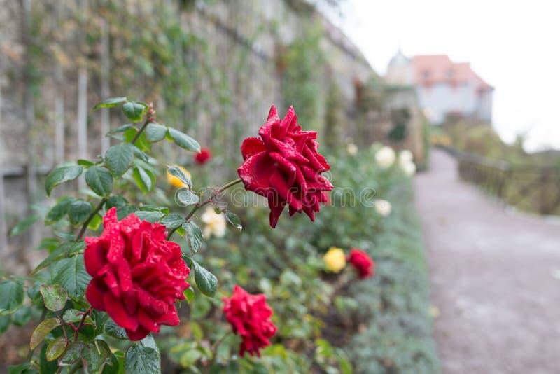 Rosa no jardim do castelo de Dornburg imagem de stock royalty free
