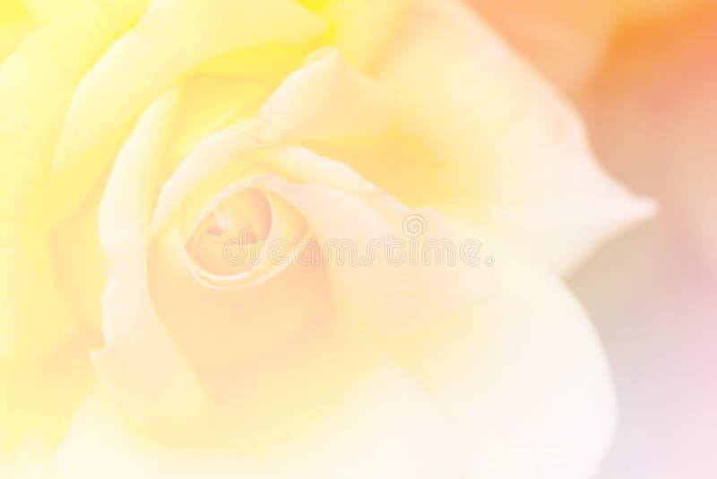 Rosa no jardim, foco seletivo do amarelo, tom do vintage, inclinação imagem de stock royalty free