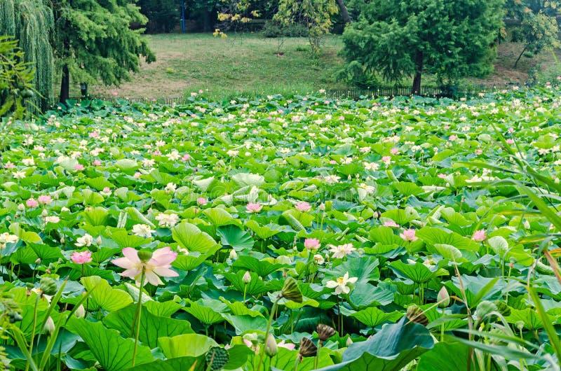 Rosa nupharblommor, grönt fält på sjön, näckros, damm-lilja, spatterdock, Nelumbonucifera, också som är bekant som indisk lotusbl arkivbild