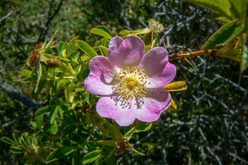Rosa nyponblomma på en buske, Nya Zeeland arkivbild