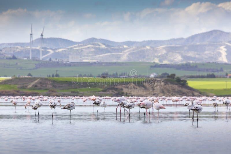 Rosa och gråa flamingo på den salta sjön av Larnaca, Cypern arkivfoton