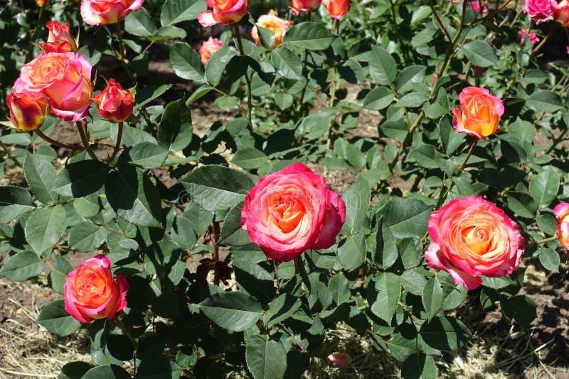 Rosa och gula blommor av rosen royaltyfri bild