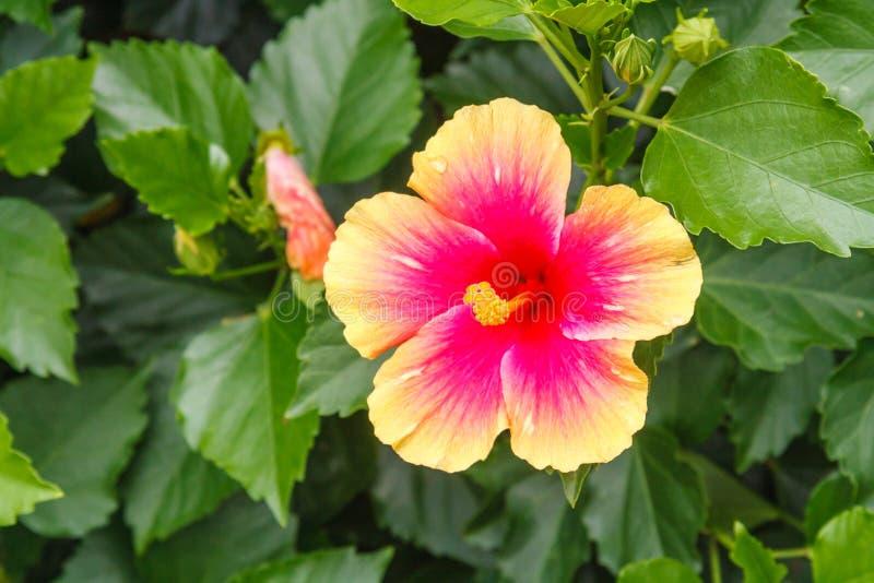 Rosa och orange hibiskusblomma royaltyfria bilder
