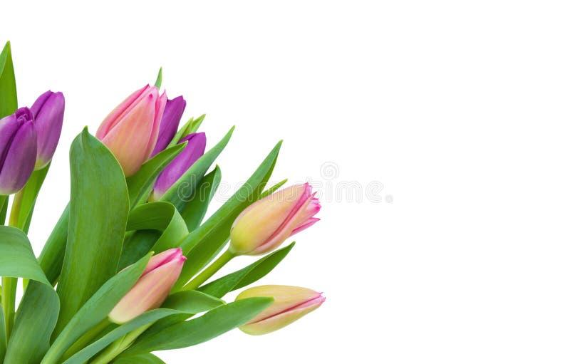 Rosa och purpurfärgad tulpanbukett med gräsplansidor som isoleras på vit bakgrund som är diagonal royaltyfria bilder