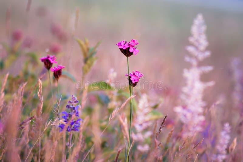 Rosa och purpurfärgade vildblommor arkivbild