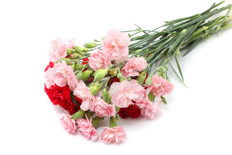Rosa och röd nejlika arkivfoton