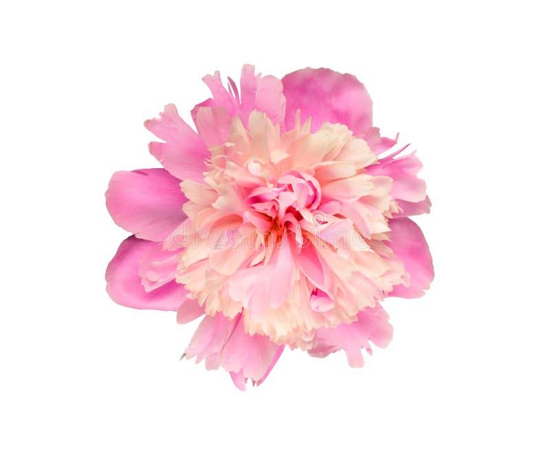 Rosa och rosig pionblomma royaltyfri fotografi