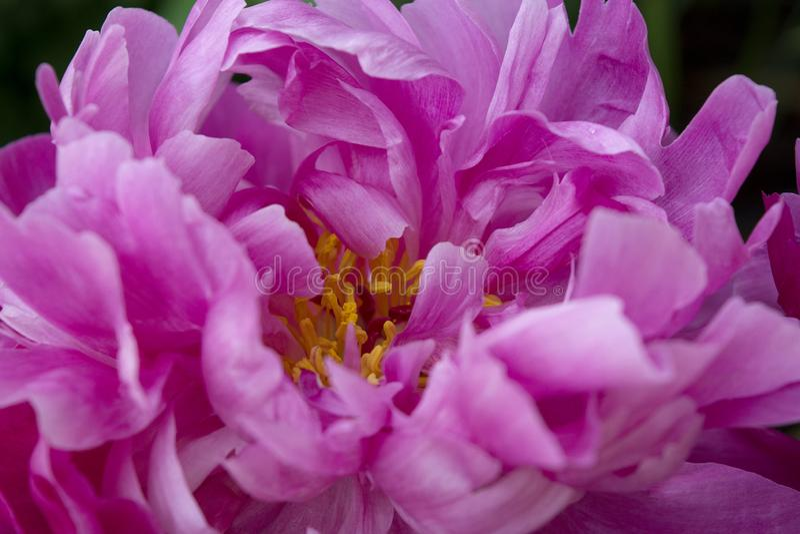 Rosa och vikta kronblad av en pionblomma skapar en abstrakt modell av komplexitet och skönhet royaltyfri foto