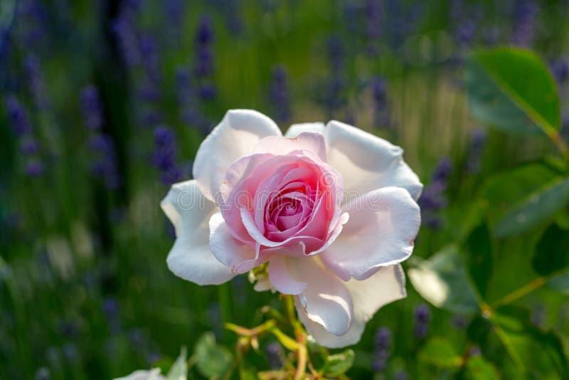 Rosa och vit rosa blomma på filialen i trädgården royaltyfria foton