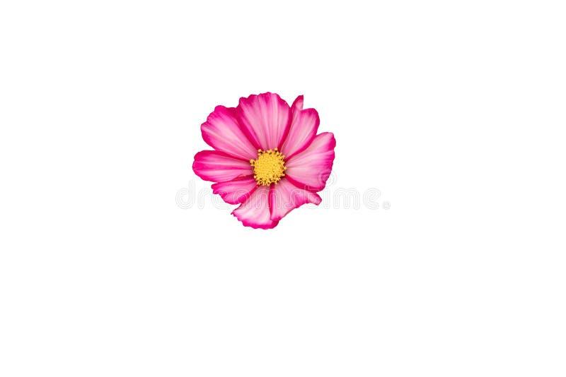 Rosa och vit kosmosblomma för närbild med en gul hjärta royaltyfri fotografi