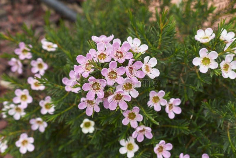 Rosa och vita blommor av den Chamelaucium uncinatumväxten royaltyfria foton
