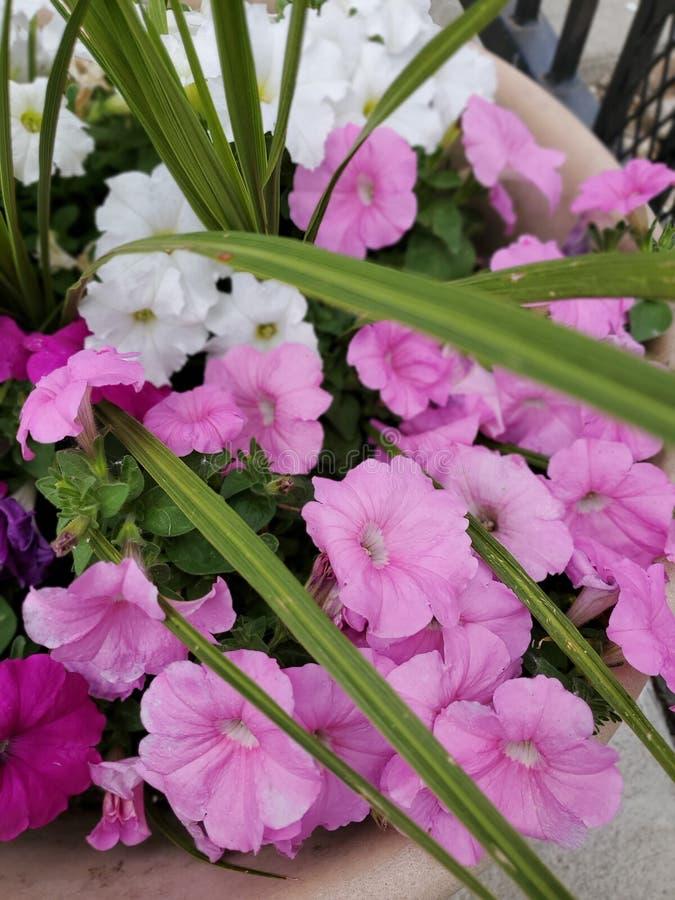 Rosa och vita blommor för natur royaltyfri fotografi