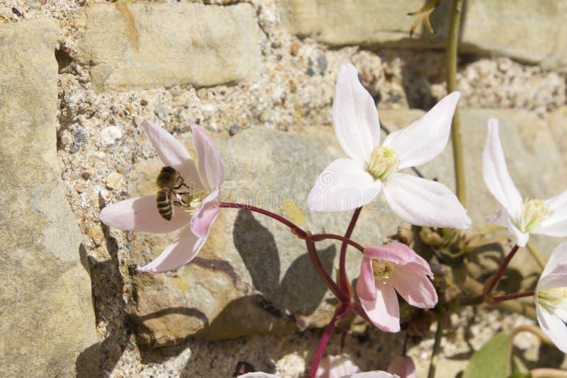 Rosa och vita klematiers, stenar väggen och ett bi arkivbild