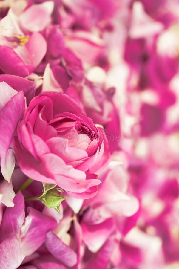 Rosa och vita rosa kronblad spridde på måfå och blommacloseupen royaltyfri foto