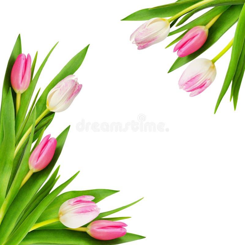 Rosa och vita tulpanblommahörn arkivbild