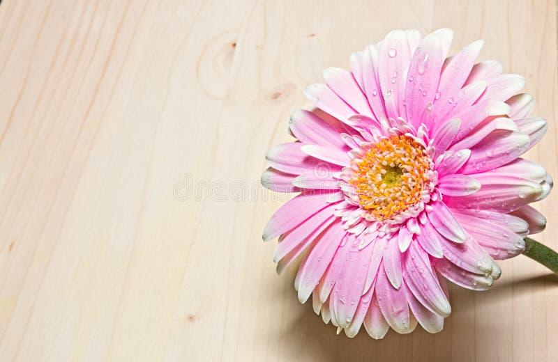 Rosa och vitt gerberablommaslut upp på wood bakgrund arkivfoto