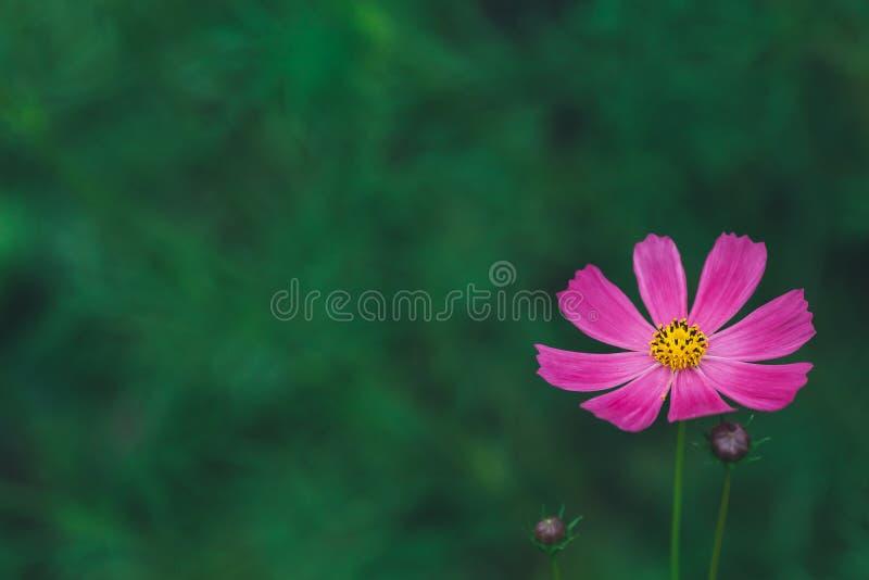 Rosa oder pinkfarbenes Sommerblumenblumenblatt auf grünem Hintergrund, copyspace stockbilder