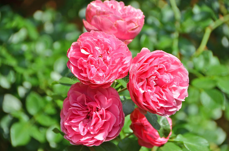 Rosa odorata royaltyfria foton