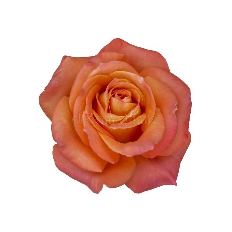 Rosa odorata beautiful large flower isolated on a white background royalty free stock photography