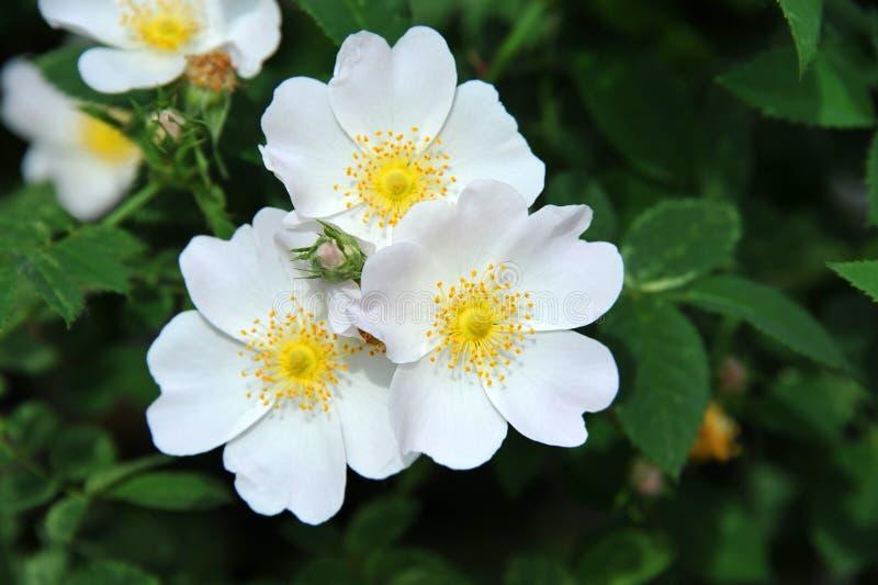 Rosa odoratablomma arkivbild