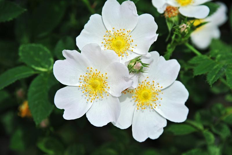 Rosa odoratablomma fotografering för bildbyråer