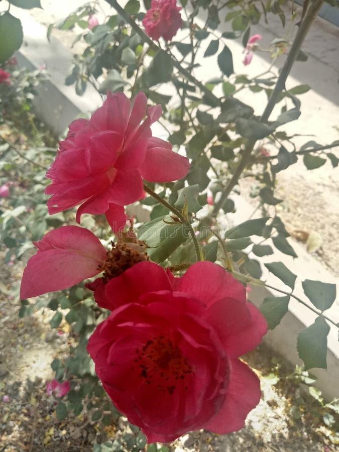 Rosa Oklahoma arkivbilder