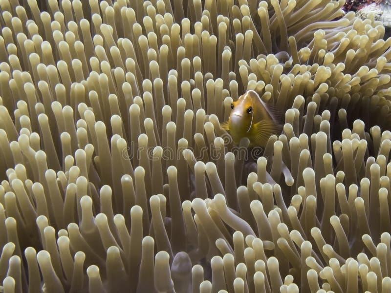Rosa orange anemonefishslut upp framsida i den undervattens- havsanemonen royaltyfri bild