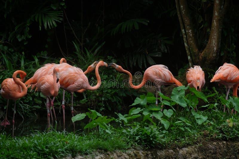 Rosa orange Flamingos lizenzfreie stockfotos