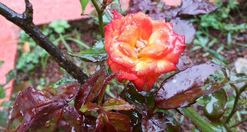 Rosa Orangish fotos de archivo