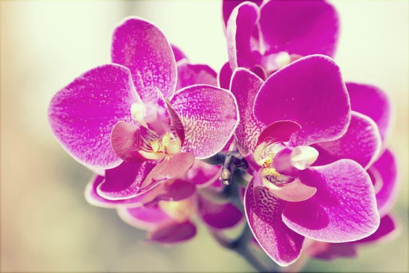 Rosa Orchid royaltyfria bilder
