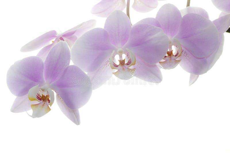 Rosa Orchid auf weißem Hintergrund lizenzfreies stockfoto