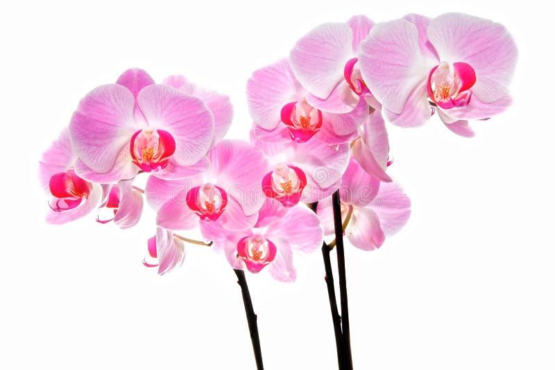 Rosa orchidblommor royaltyfri foto