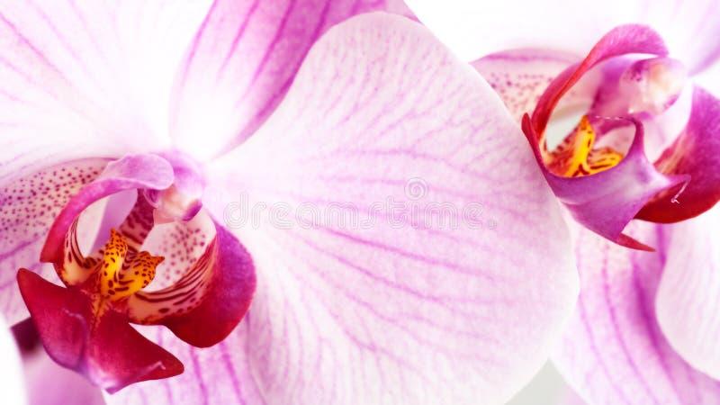 Rosa Orchidee der Schönheit stockfotos