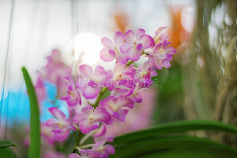 Rosa Orchidee mit Schönheit stockfoto